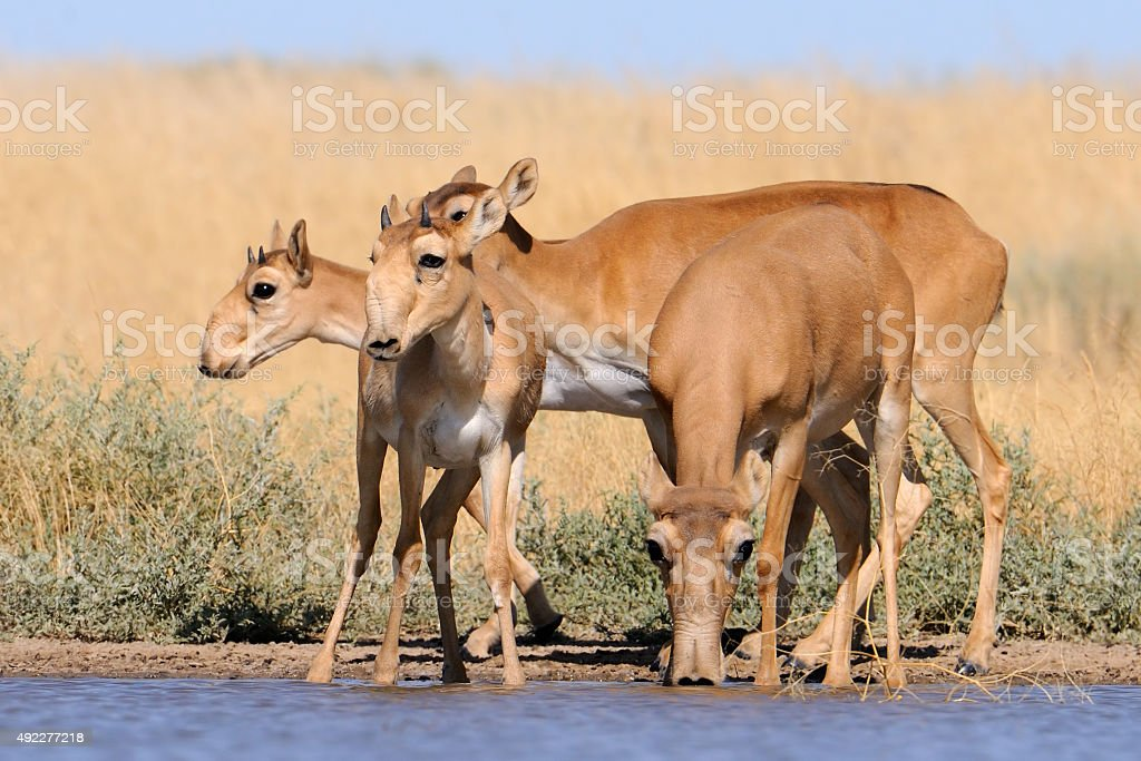 Wild Saiga antelopes in steppe near watering pond stock photo