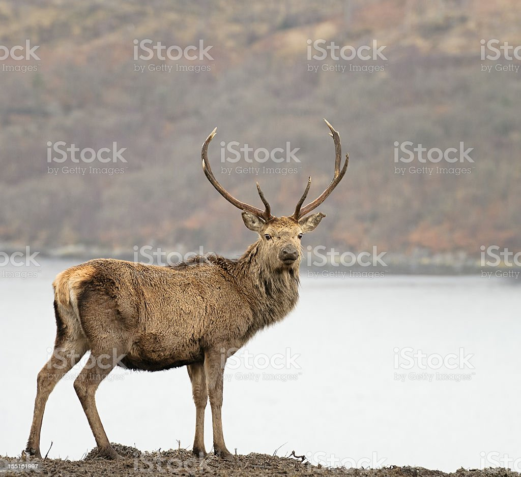 Wild Scottish Red Deer Stag stock photo