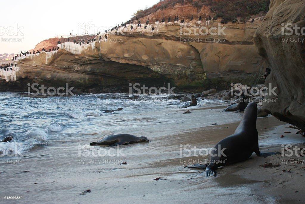 wild sea lions stock photo