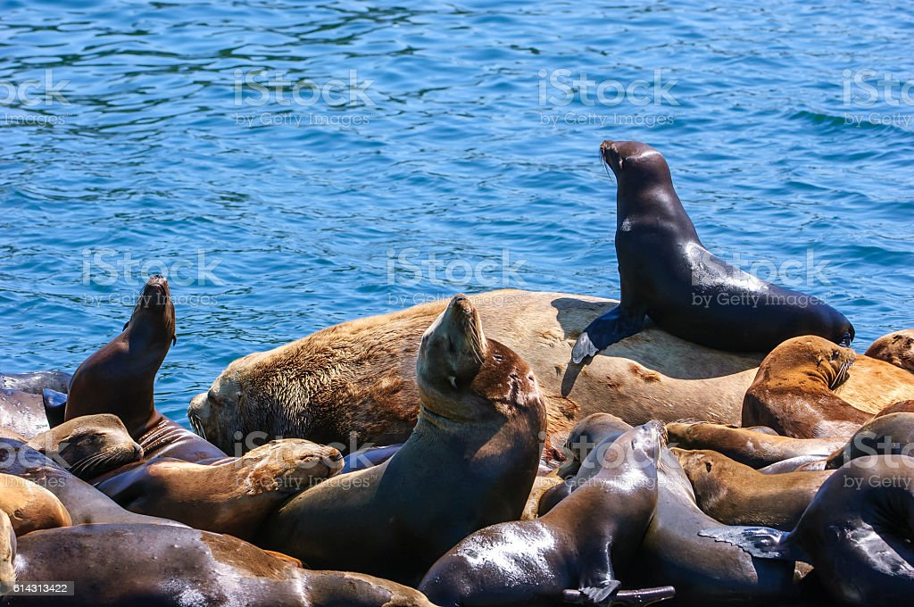 Wild Sea Lions Resting on Boat Landing stock photo