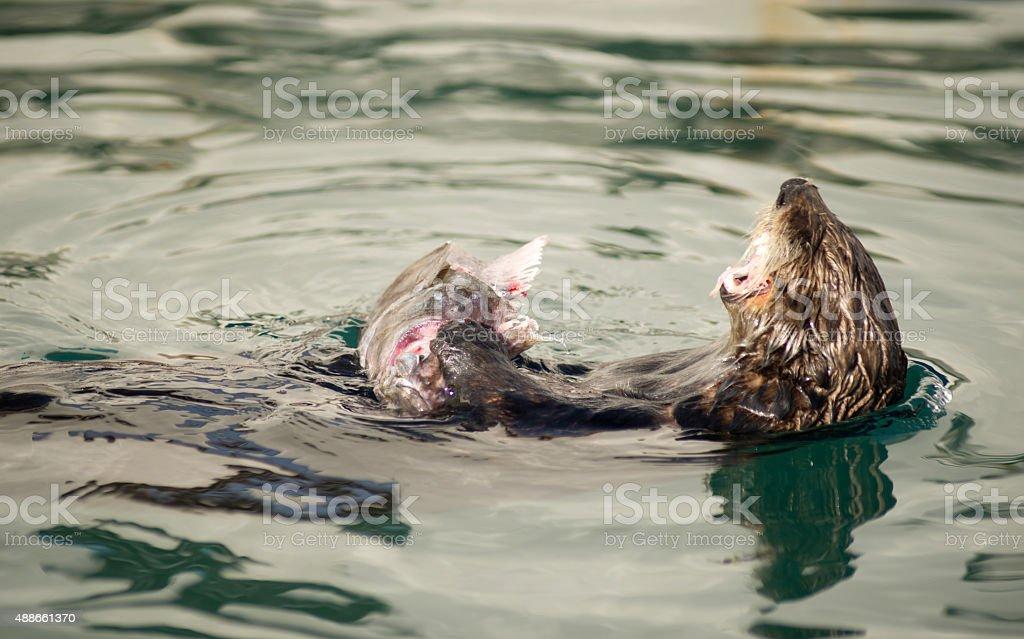 Wild Sea Otter Eats Fresh Fish Reserrection Bay Animal Wildlife stock photo