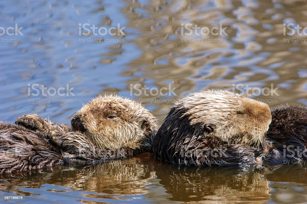 Wild Sea Otter Mother and Her Baby stock photo