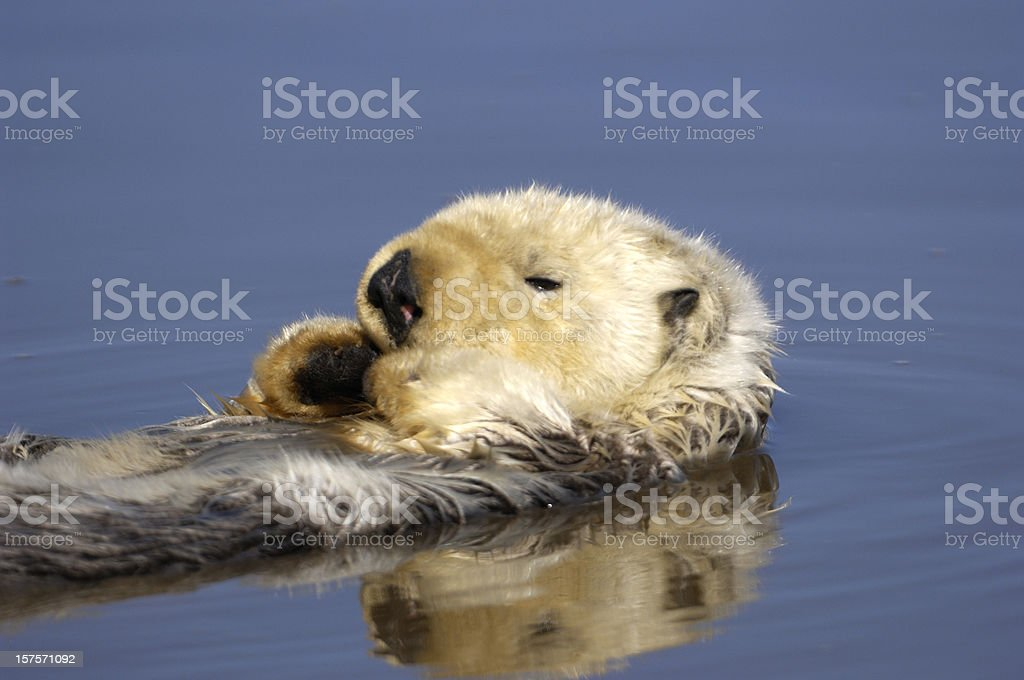 Wild Sea Otter Resting in Calm Ocean Water royalty-free stock photo