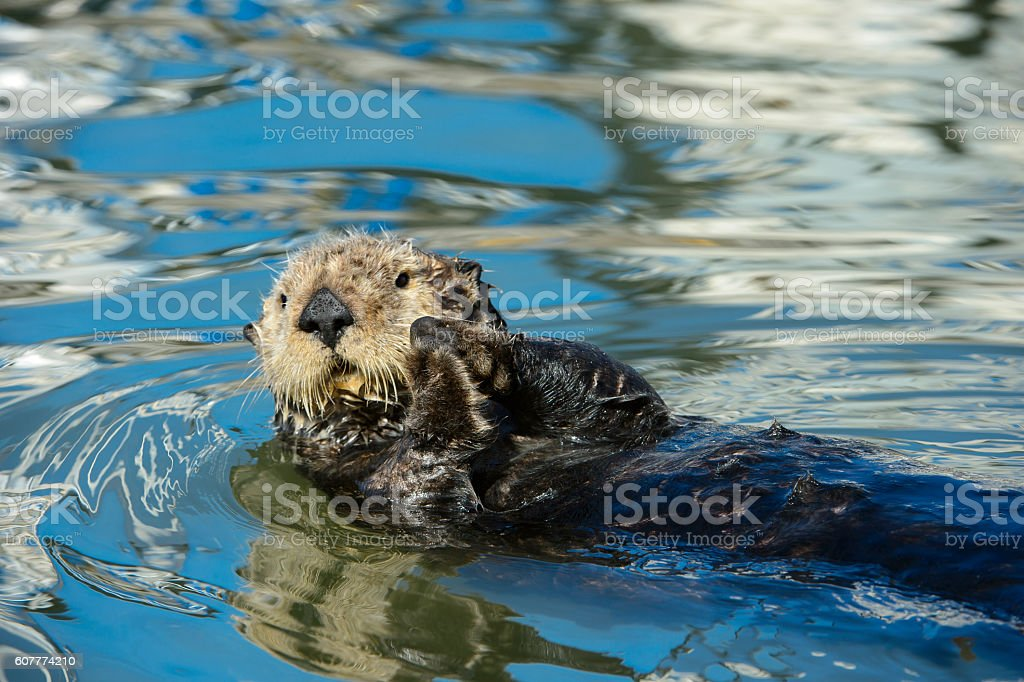 Wild Sea Otter Resting in Calm Ocean Water stock photo
