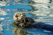 Wild Sea Otter Resting in Calm Ocean Water