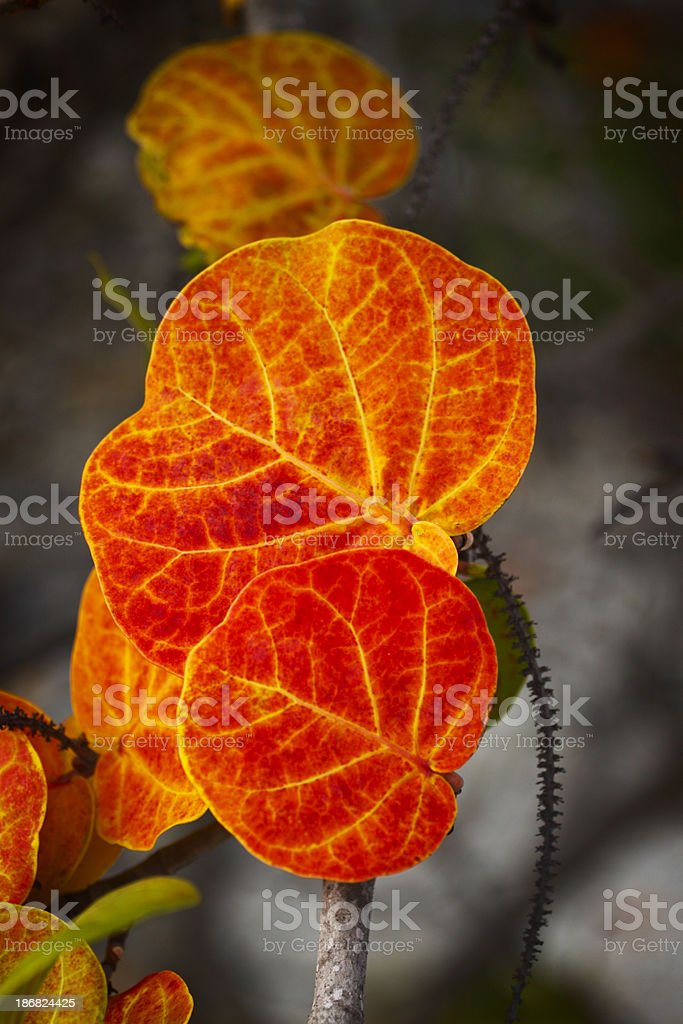 Wild Seagrape Leaves stock photo