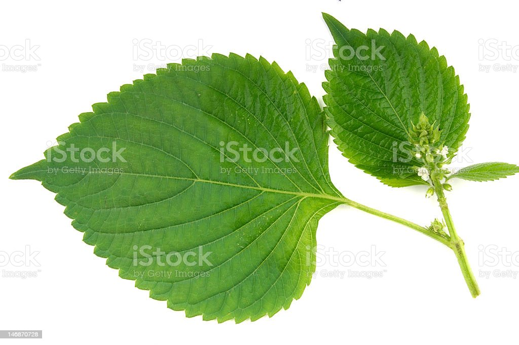 Wild sesame leaves royalty-free stock photo