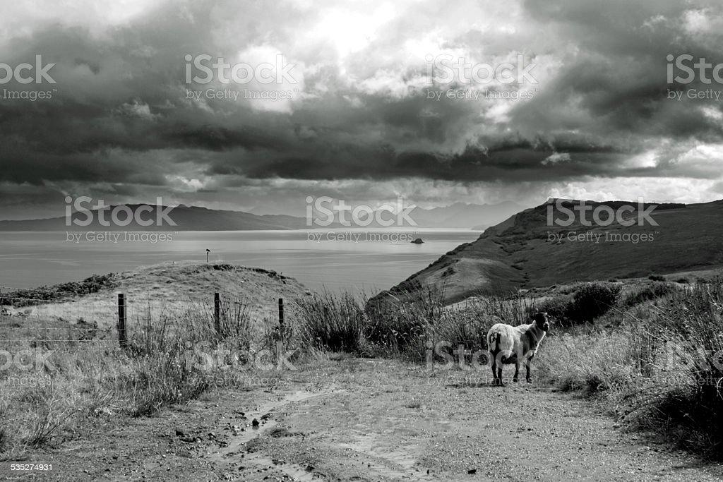 Ovelha selvagens em Terras Altas escocesas foto de stock royalty-free