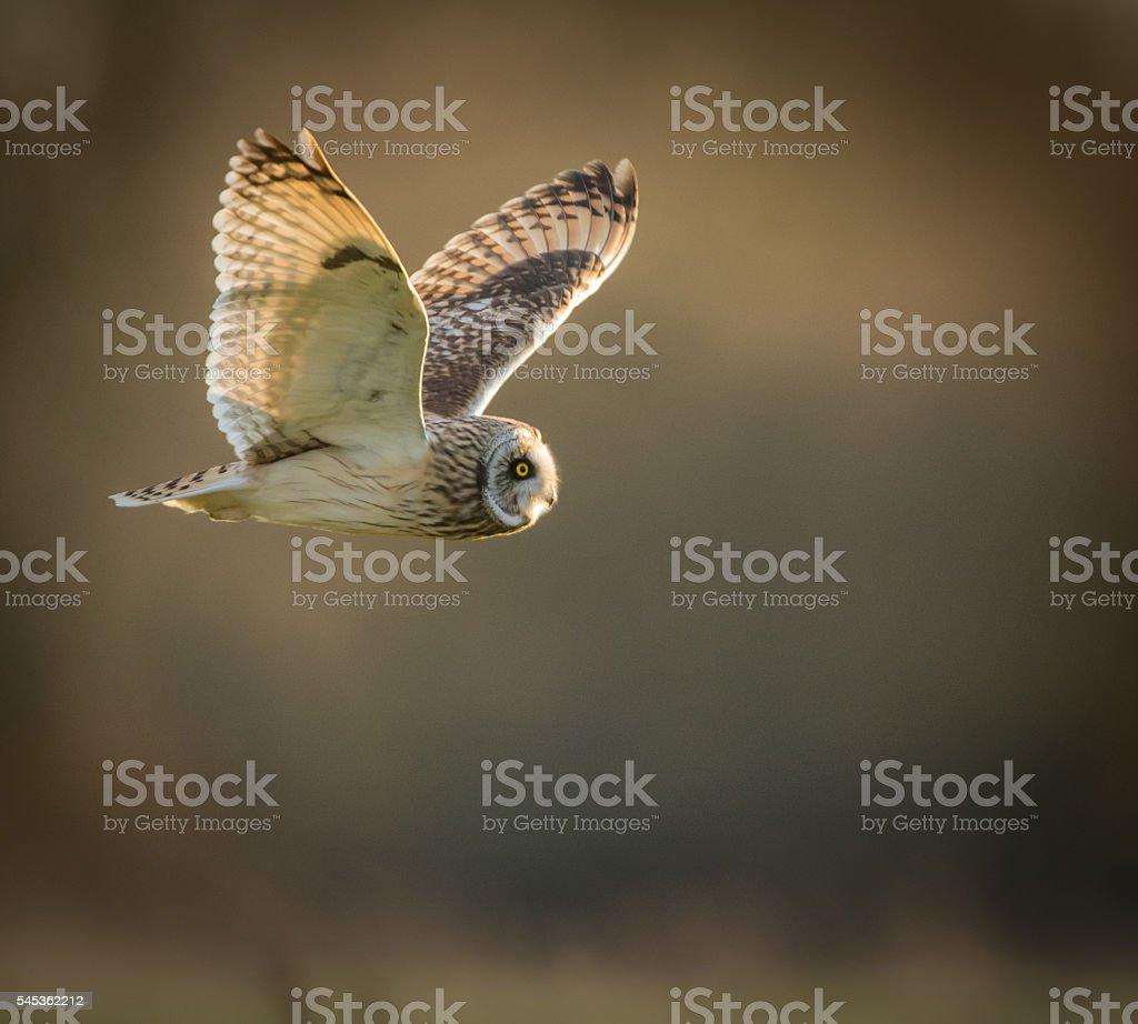 Wild Short eared owl in flight looking forward, wings up stock photo