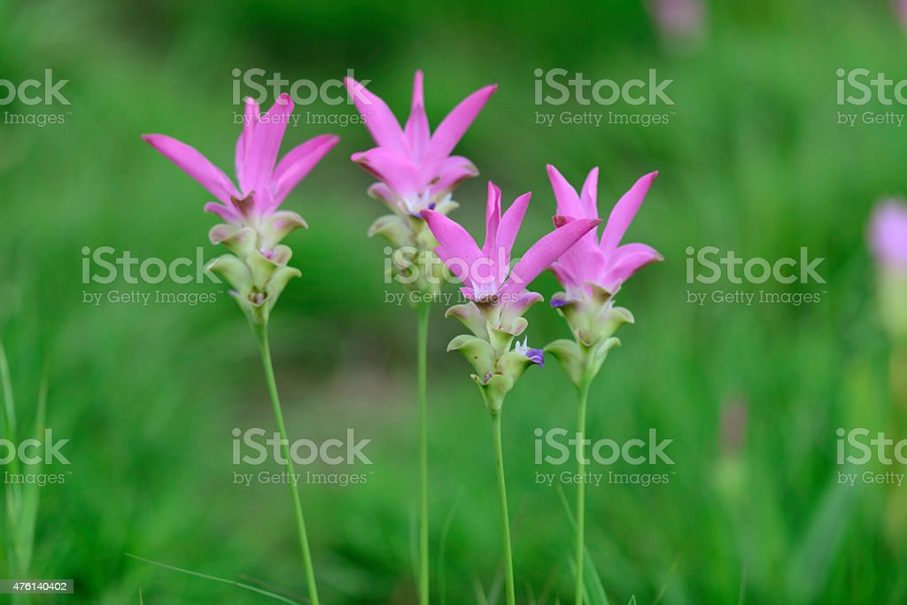 Wild siam tulips blooming in the jungle in Chaiyaphum province Thailand. royalty-free stock photo