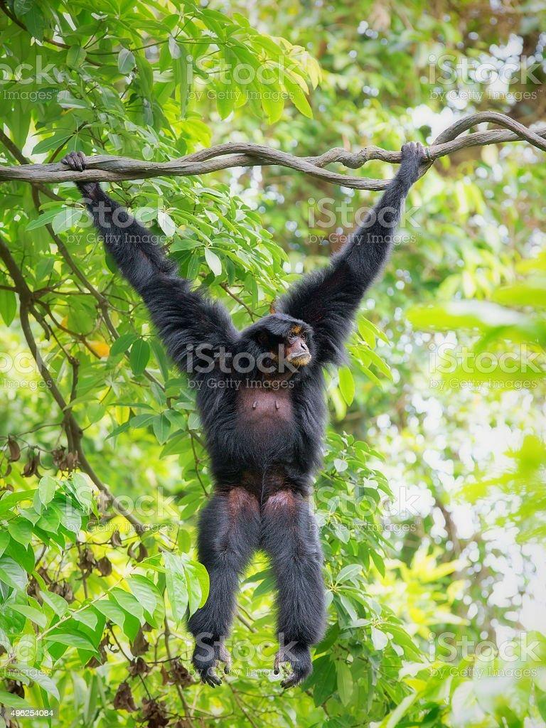 Wild Siamang Gibbon stock photo