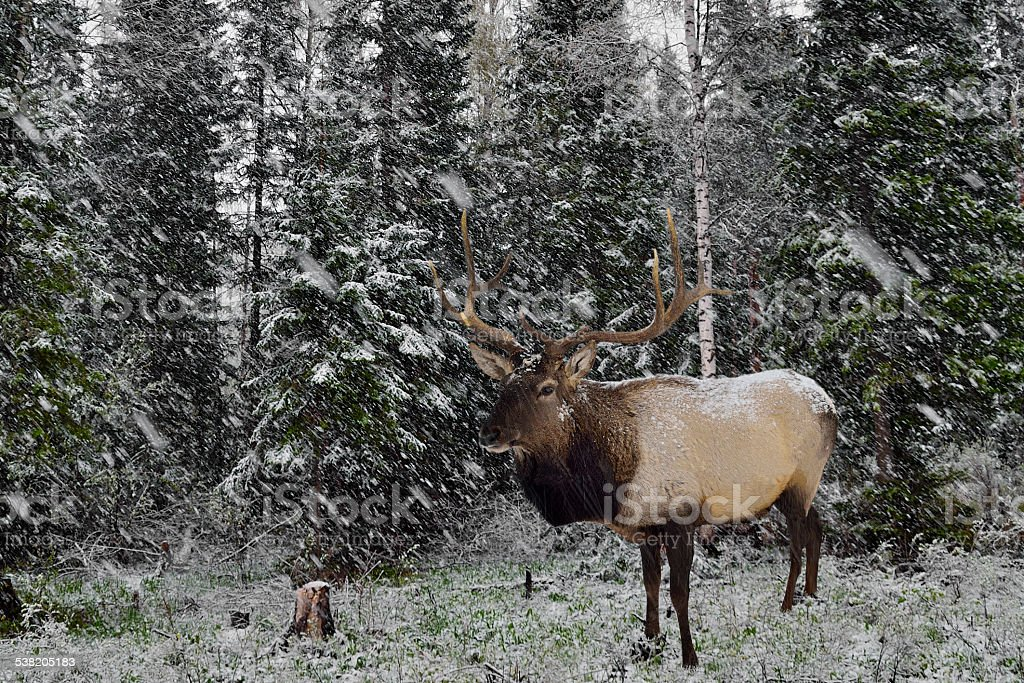 Wild Siberian stag in the winter forest. stock photo