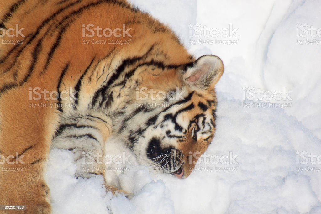 Wild siberian tiger rests on white snow. stock photo