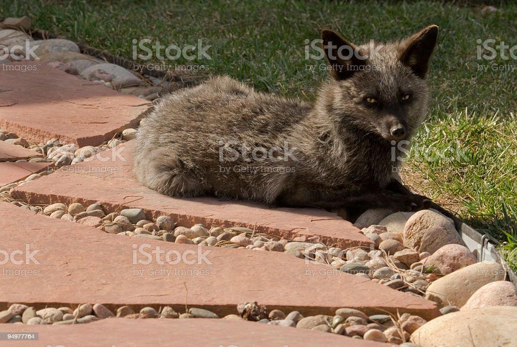 Wild Silver Fox stock photo