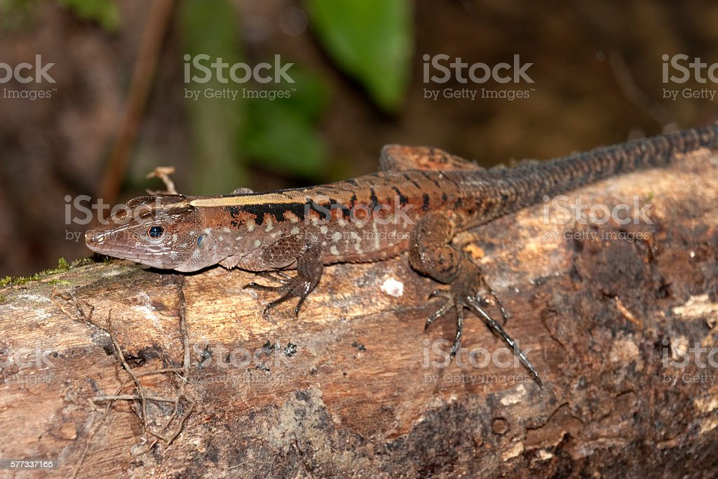 Wild skink lizard Pacaya-Samiria Reserve Amazon Rainforest Peru stock photo
