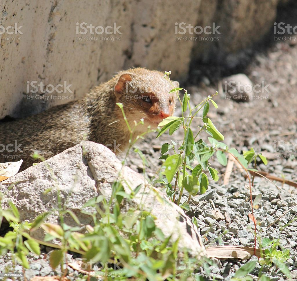 wild small Asian mongoose (Herpestes javanicus) coming out of hole stock photo