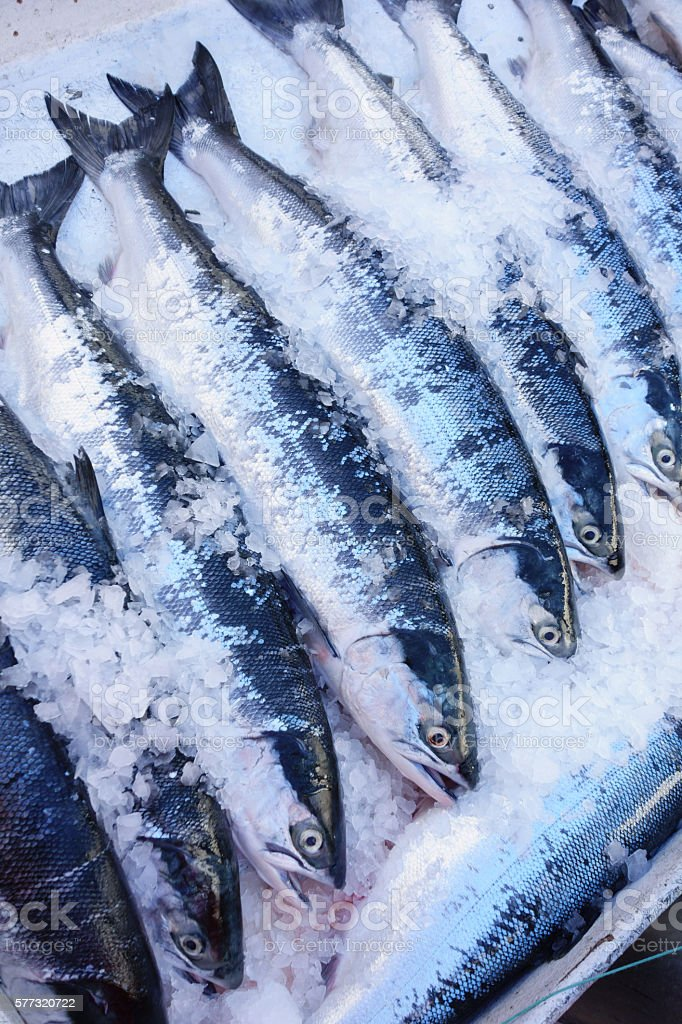 wild sockeye stock photo
