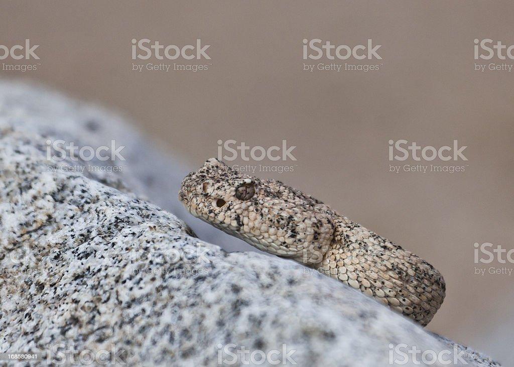 Wild Speckled Rattlesnake, Isla San Jose, Baja California, Mexico stock photo