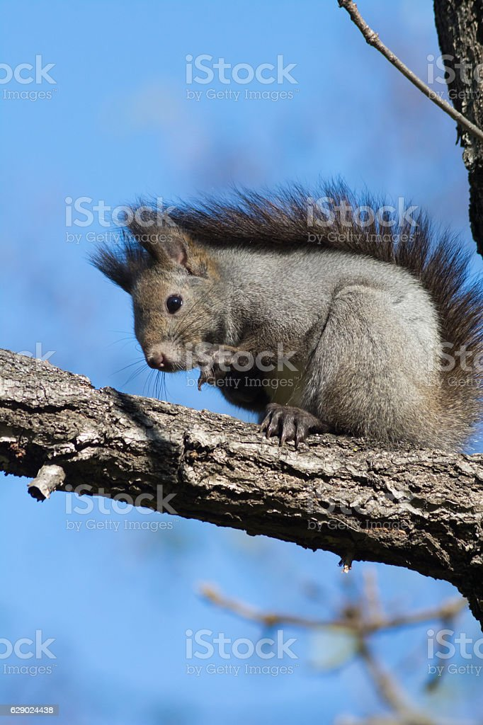 Wild squirrel in Hokkaido Japan stock photo