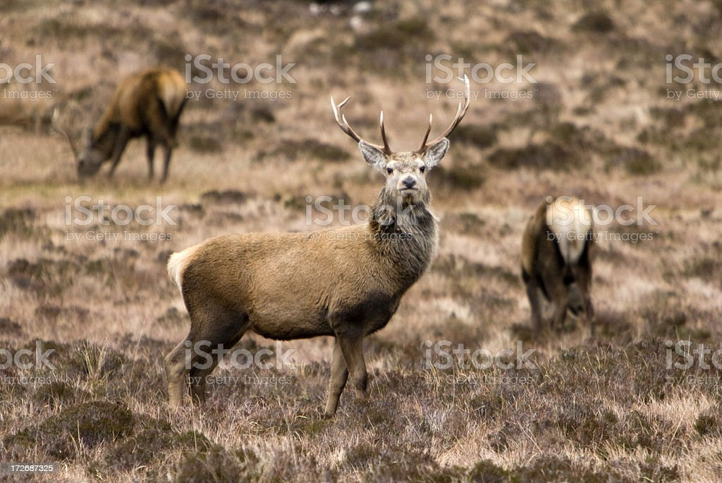 Wild Stag keeping watch royalty-free stock photo