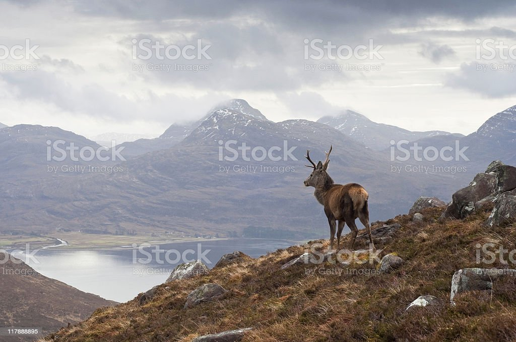 Wild stag, Scottish highlands stock photo