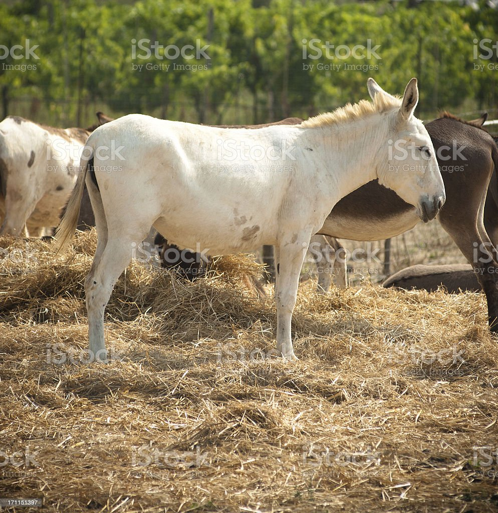 Wild Stallion horse portrait in a farm royalty-free stock photo