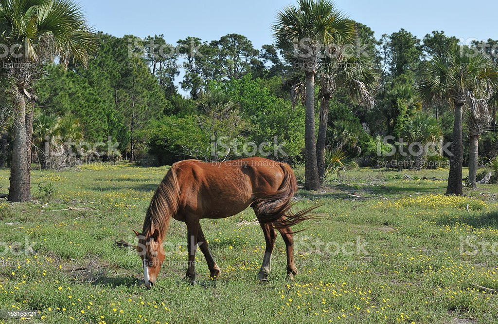 Wild Stallion royalty-free stock photo