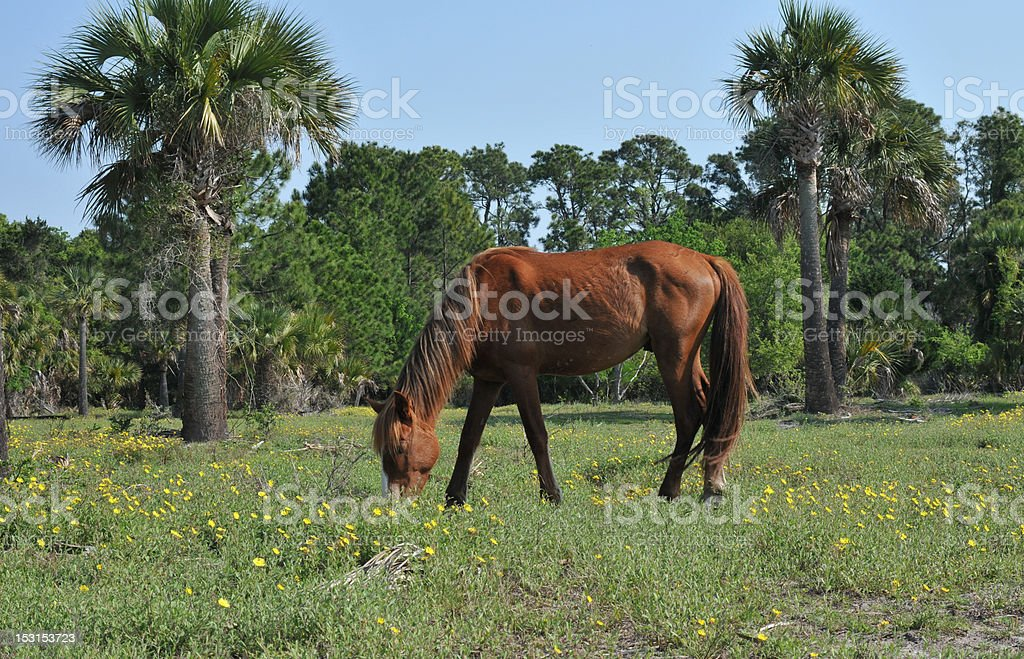 Wild Stallion royalty-free stock photo