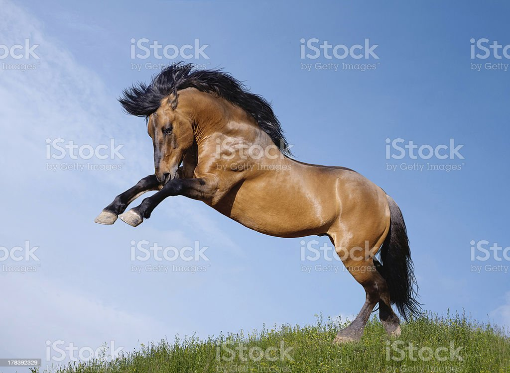 wild stallion stock photo