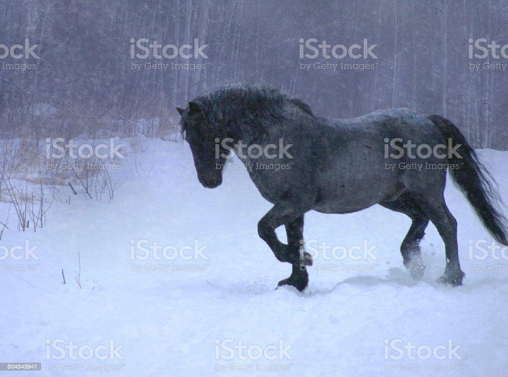 Wild Stallion Running In Snow Storm stock photo
