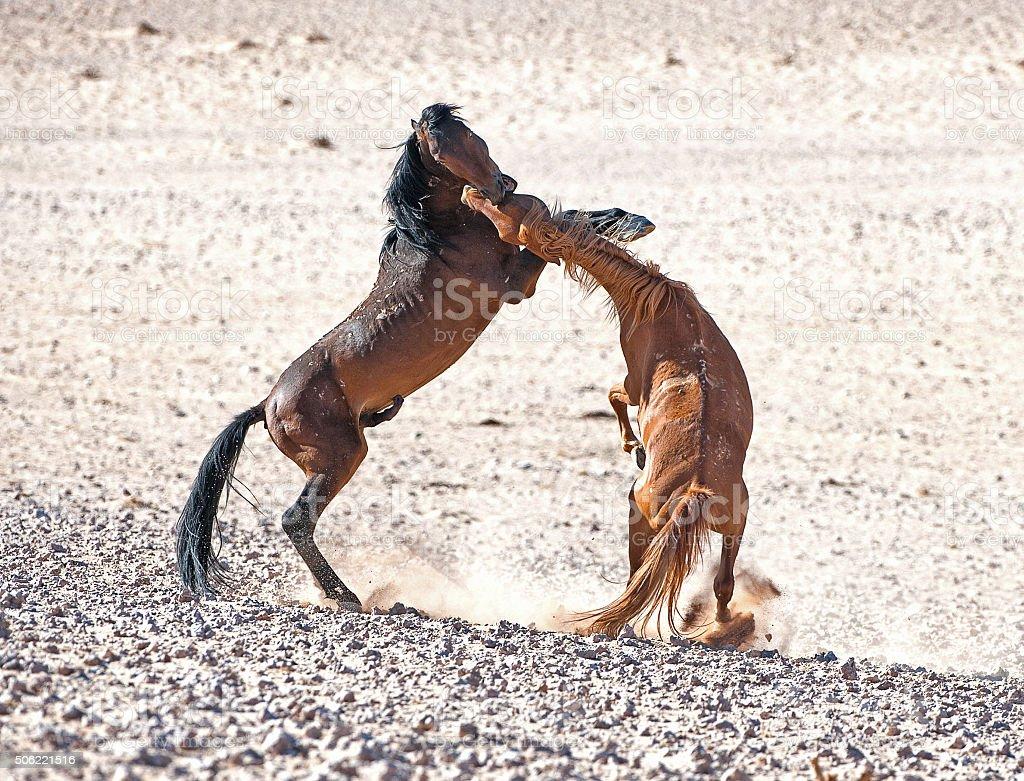 Wild stallions get serious over a mate, Namib Desert, Namibia stock photo