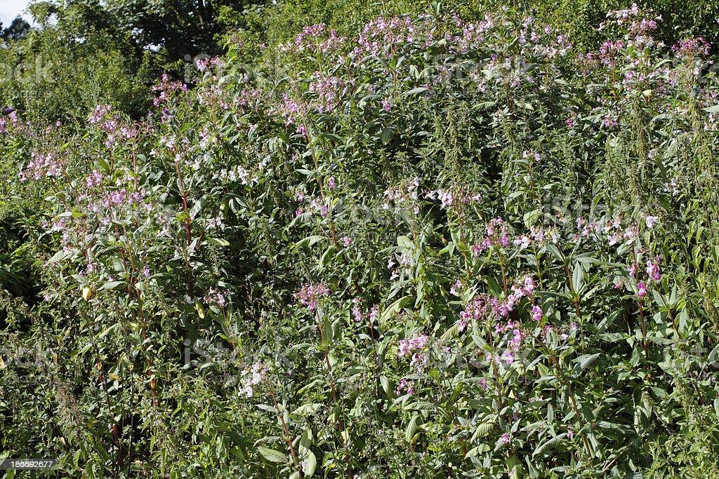Wild stand of Indian balsam Impatiens glandulifera near water stock photo