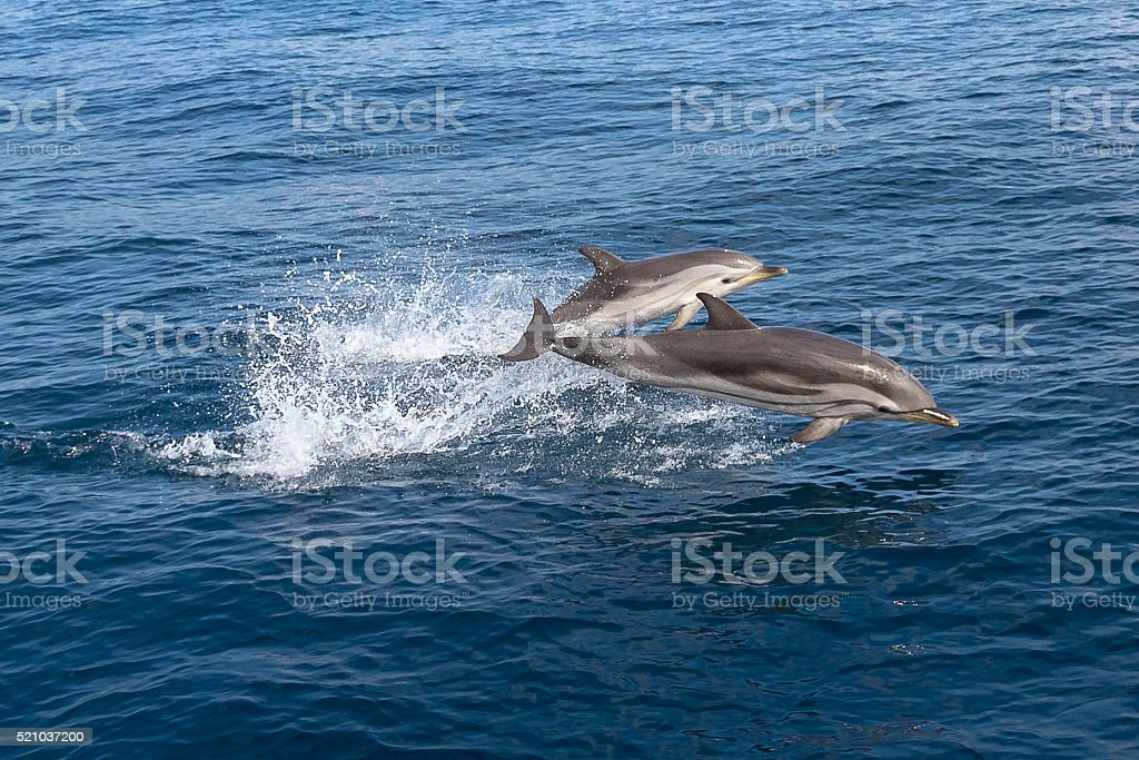 Wild Stenella coeruleoalba jumping stock photo