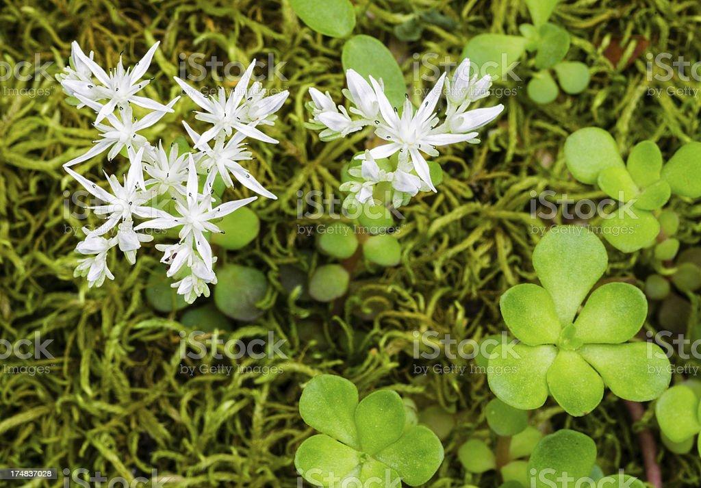 Wild Stonecrop Flower stock photo