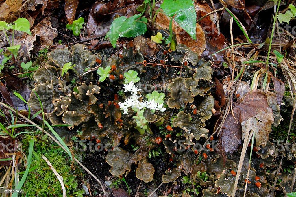 Wild Stonecrop stock photo