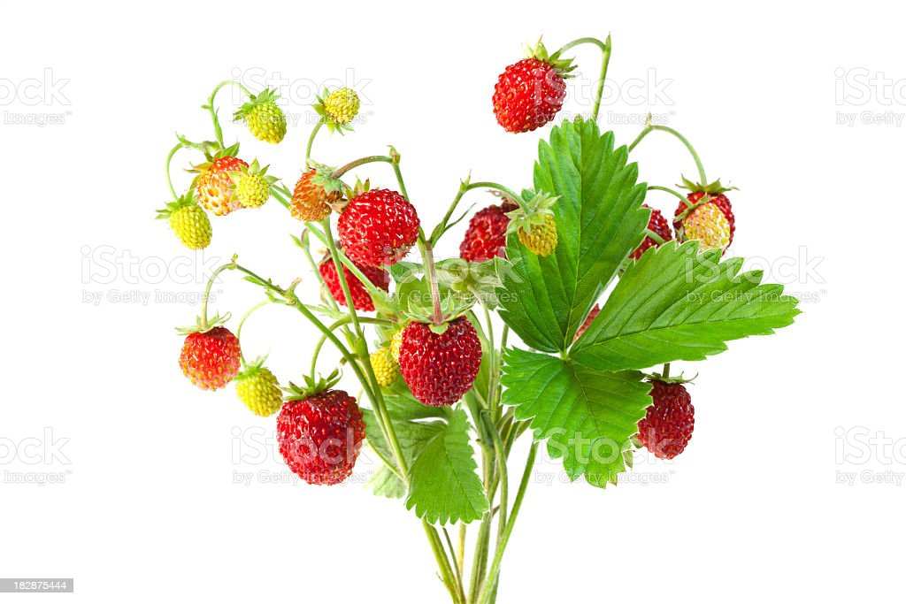 Wild strawberries twigs with fruits on a white background stock photo