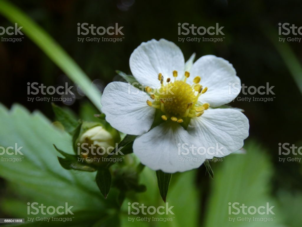Wild Strawberry Blossom Flower stock photo