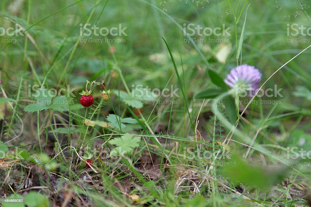 Wild strawberry in the forest royalty-free stock photo