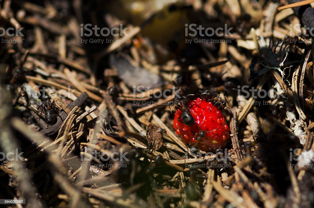 Wild strawberry in the middle of anthill stock photo