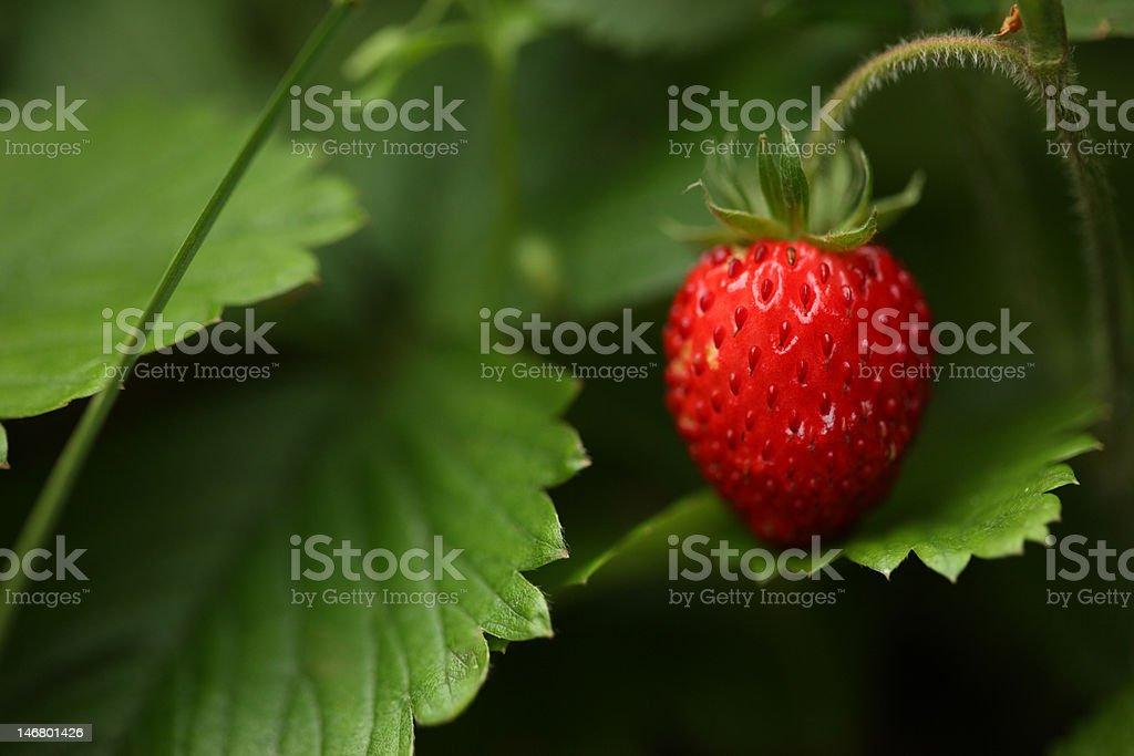 Wild strawberry (Fragaria virginiana) royalty-free stock photo
