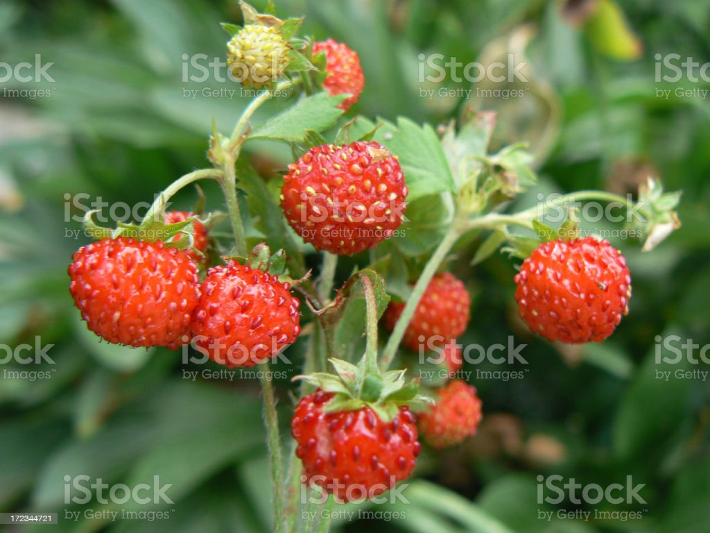 Wild strawberry. royalty-free stock photo