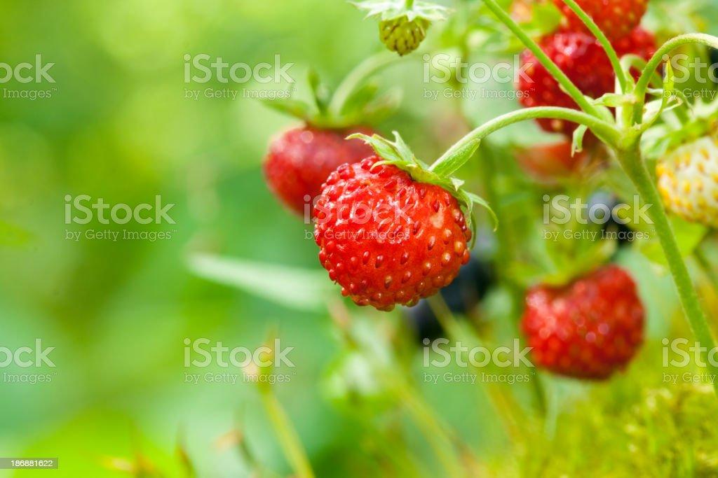 Wild strawberry royalty-free stock photo
