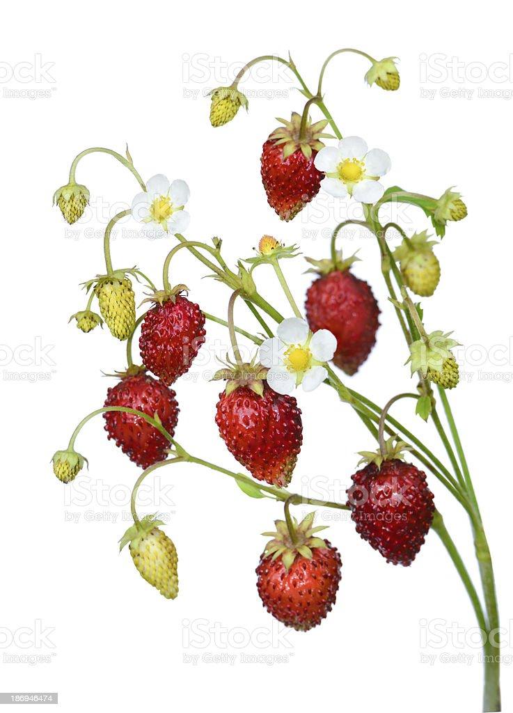 Wild strawberry twig stock photo