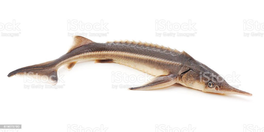 Wild sturgeon. stock photo