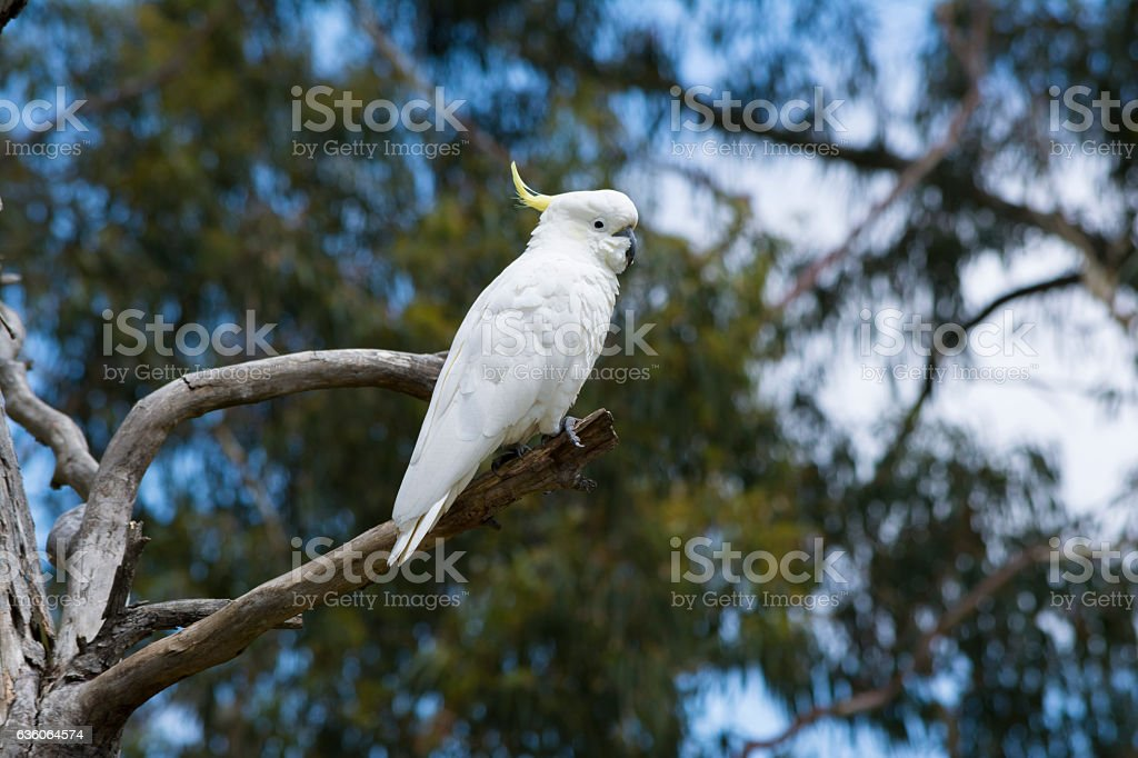 Wild Sulphur-Crested Cockatoo (Cacatua Galerita) in a Tree stock photo