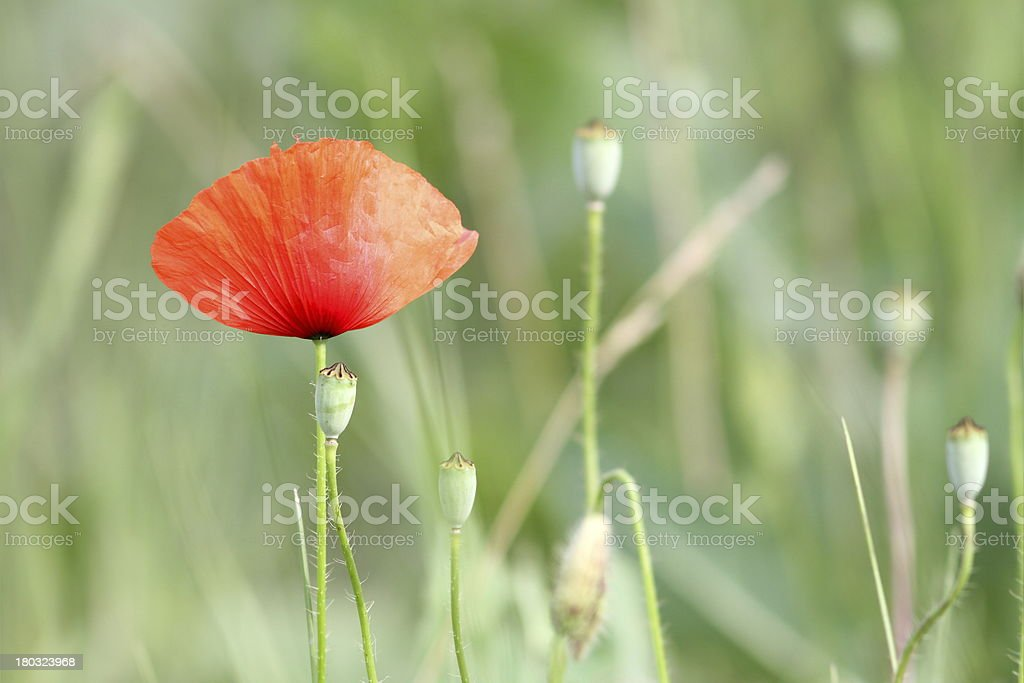 wild summer red flower royalty-free stock photo