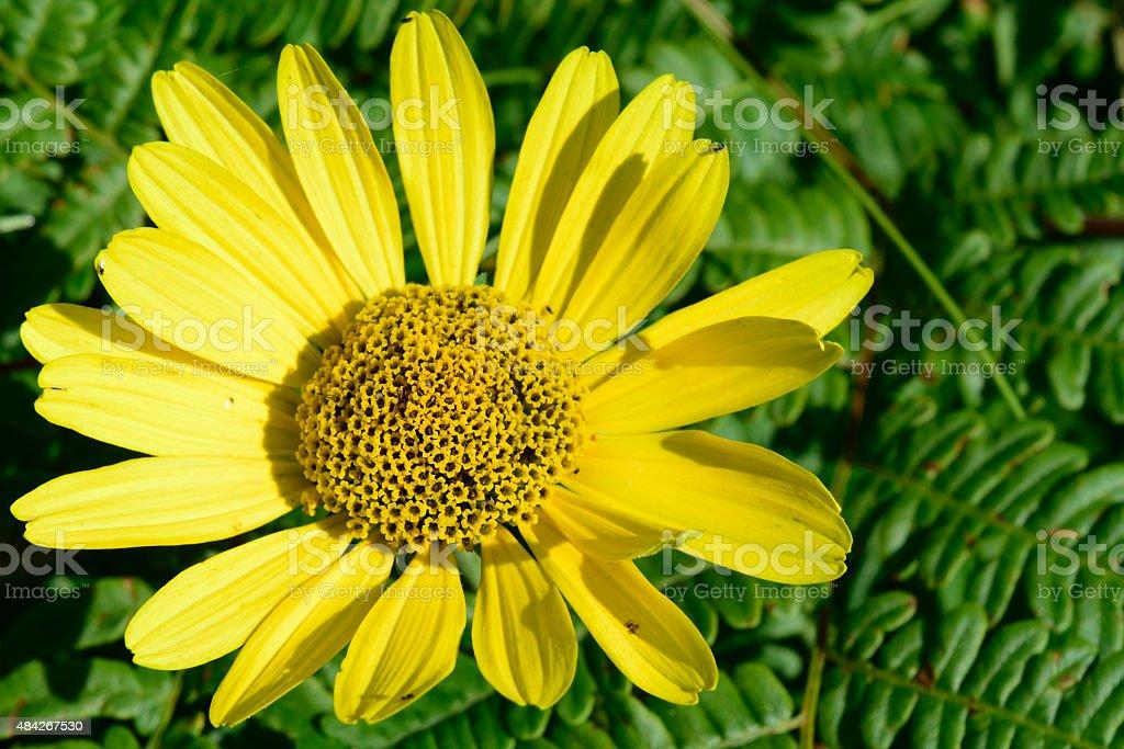 Wild Sunflower (Helianthus) Above Bracken Fern (Pteridium aquilinum) stock photo