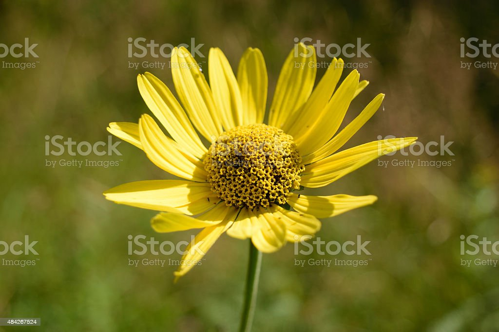 Wild Sunflower (Helianthus) Background stock photo