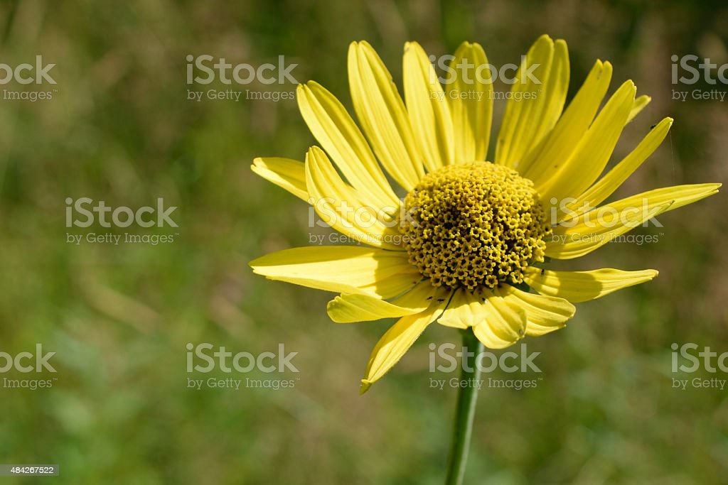 Wild Sunflower (Helianthus) Detail stock photo
