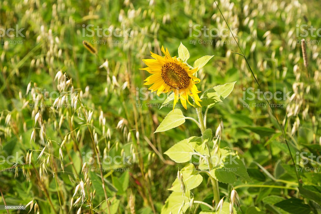 Wild Sunflower in an Organic Oats and Soybean Field stock photo